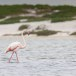 Flamingo-Greater-Flamingo-12