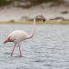Flamingo-Greater-Flamingo-13