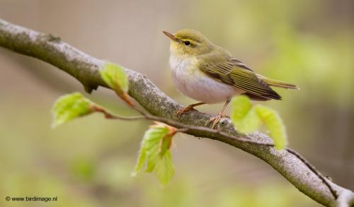 fluiter-wood-warbler-10