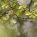 fluiter-Wood-warbler-36