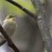 fluiter-Wood-warbler-37