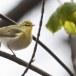 fluiter-Wood-warbler-38