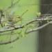 fluiter-Wood-warbler-39