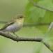fluiter-Wood-warbler-40