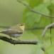 fluiter-Wood-warbler-41