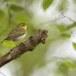 fluiter-Wood-warbler-42