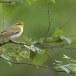 fluiter-Wood-warbler-43
