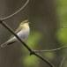 fluiter-Wood-warbler-44
