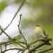 fluiter-Wood-warbler-45