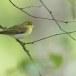 fluiter-Wood-warbler-46