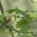 fluiter-Wood-warbler-47