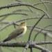 fluiter-Wood-warbler-48