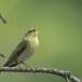 fluiter-Wood-warbler-49