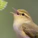 fluiter-wood-warbler-13
