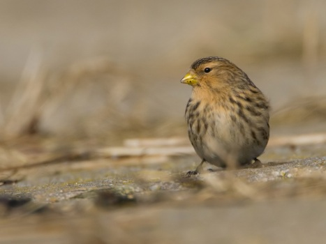 frater-twite-08
