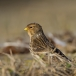 frater-twite-03