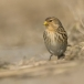 frater-twite-05