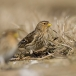 frater-twite-06