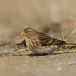 frater-twite-09