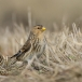 frater-twite-10