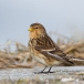 frater-twite-11