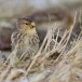 frater-twite-12