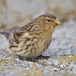 frater-twite-19