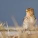 frater-twite-22