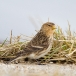 frater-twite-24