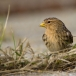 frater-twite-27