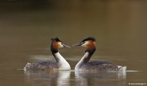 fuut-great-crested-grebe-05