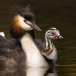 fuut-great-crested-grebe-10