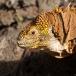 galapagos-land-iguana-chonolophus-subcristatus-01