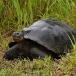 galapagos-reuzenschildpad-galapagos-giant-tortoise-01