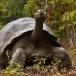 galapagos-reuzenschildpad-galapagos-giant-tortoise-02