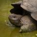 galapagos-reuzenschildpad-galapagos-giant-tortoise-04