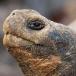 galapagos-reuzenschildpad-galapagos-giant-tortoise-06