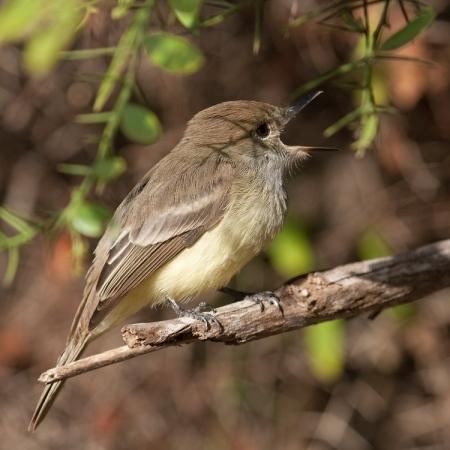 galapagostiran-galapagos-flycather-01