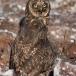 galapagos-velduil-galapagos-short-eared-owl-03
