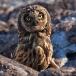 galapagos-velduil-galapagos-short-eared-owl-04
