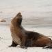 galapagos-zeeleeuw-galapagos-sea-lion-03