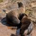 galapagos-zeeleeuw-galapagos-sea-lion-05