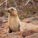 galapagos-zeeleeuw-galapagos-sea-lion-06