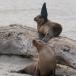 galapagos-zeeleeuw-galapagos-sea-lion-11