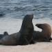 galapagos-zeeleeuw-galapagos-sea-lion-13
