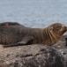 galapagos-zeeleeuw-galapagos-sea-lion-14