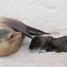 galapagos-zeeleeuw-galapagos-sea-lion-19