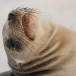 galapagos-zeeleeuw-galapagos-sea-lion-20