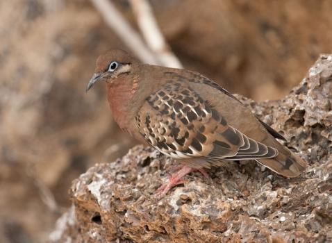 galapagostreurduif-galapagos-dove02