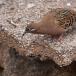 galapagostreurduif-galapagos-dove01
